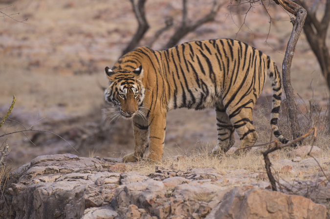 Tiger holiday India Ranthambore