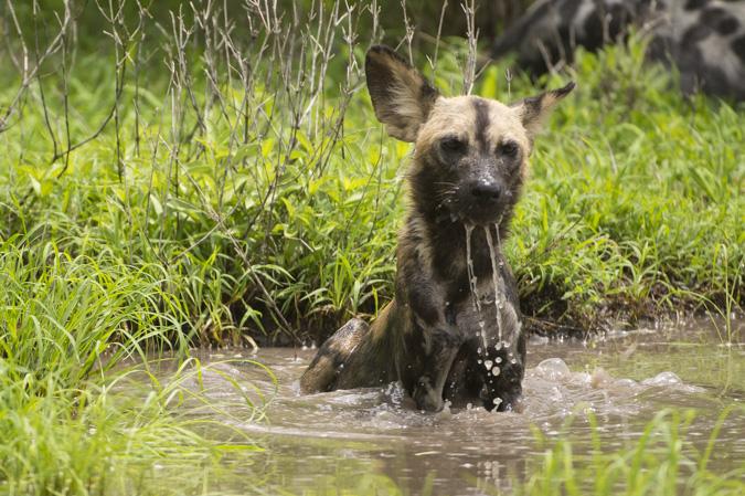 Selous wild dogs