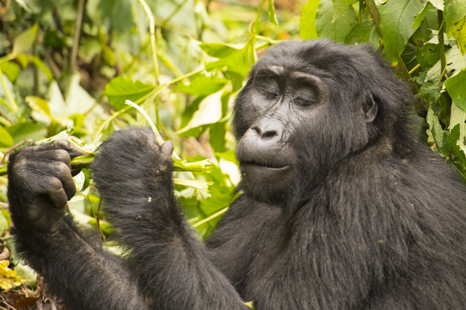 Mountain gorilla photography holiday