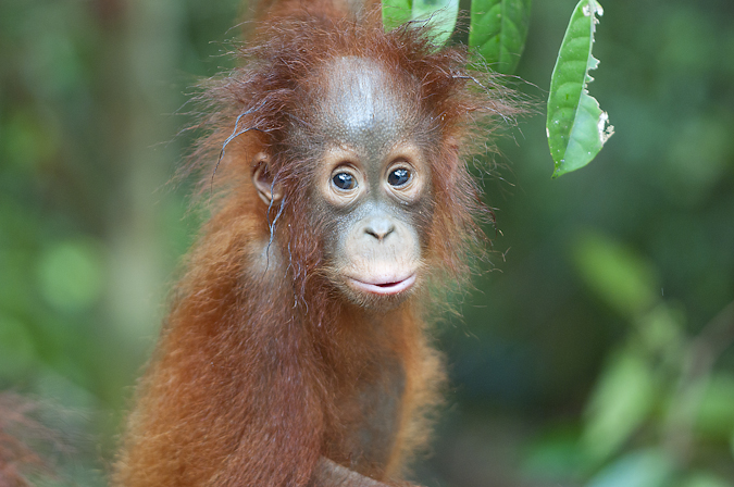 Orangutan photography