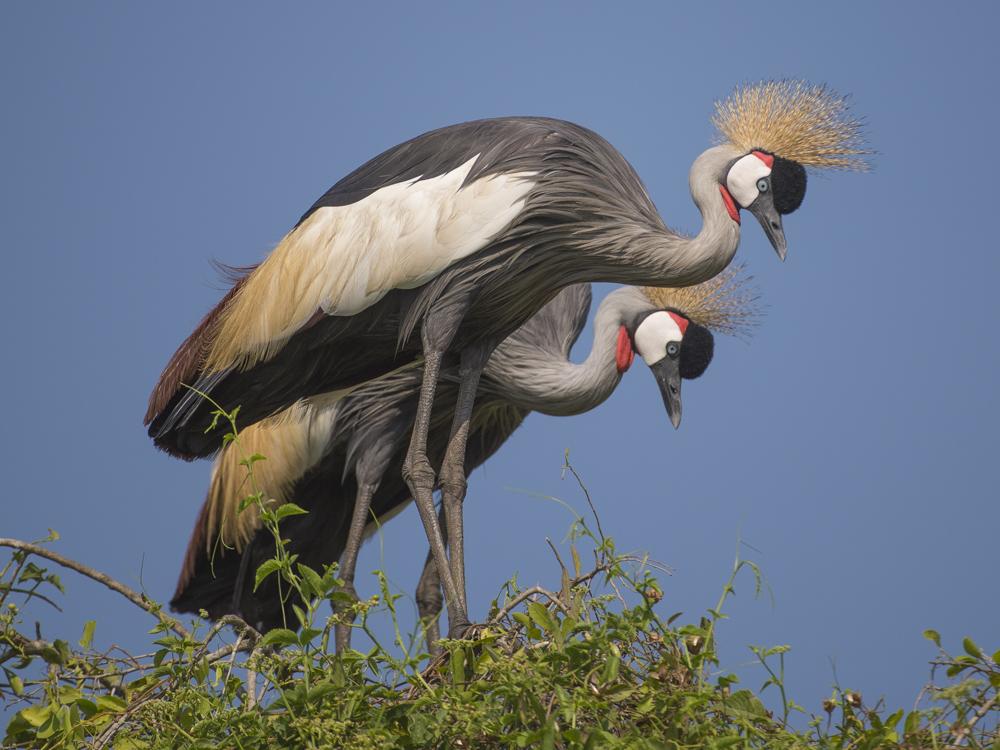 Grey Crowned Crane Uganda