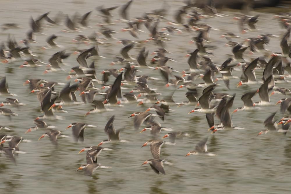 Skimmer birds