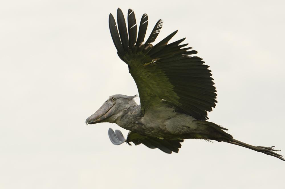 Shoebill Mabamba swamp Uganda