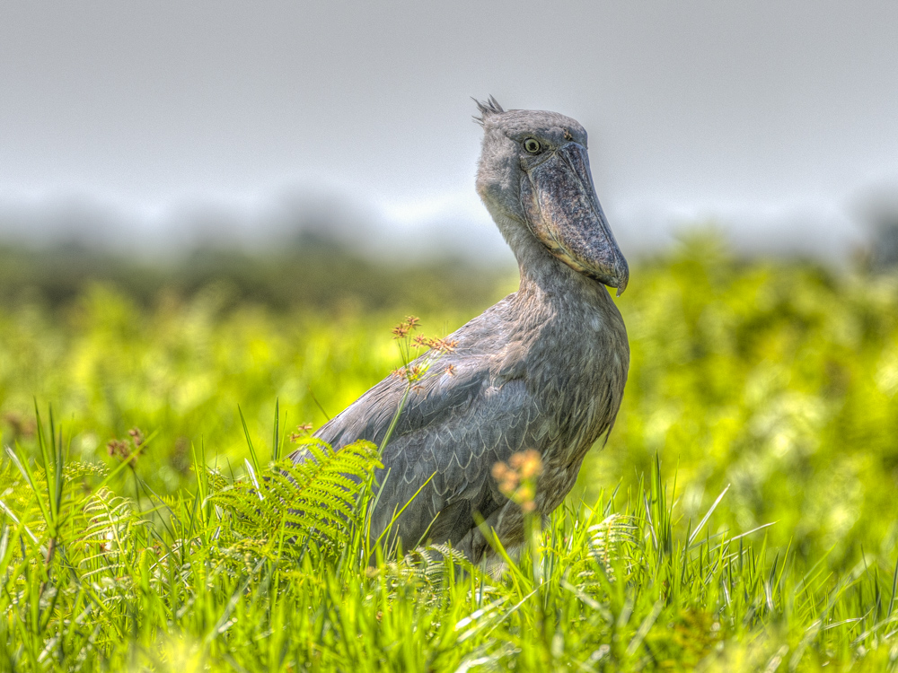 Shoebill bird Entebbe Uganda