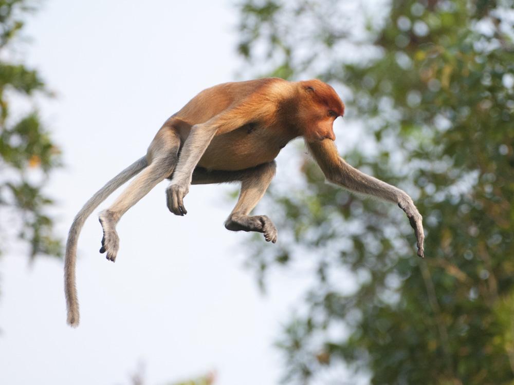 Proboscis monkey jumping from tree