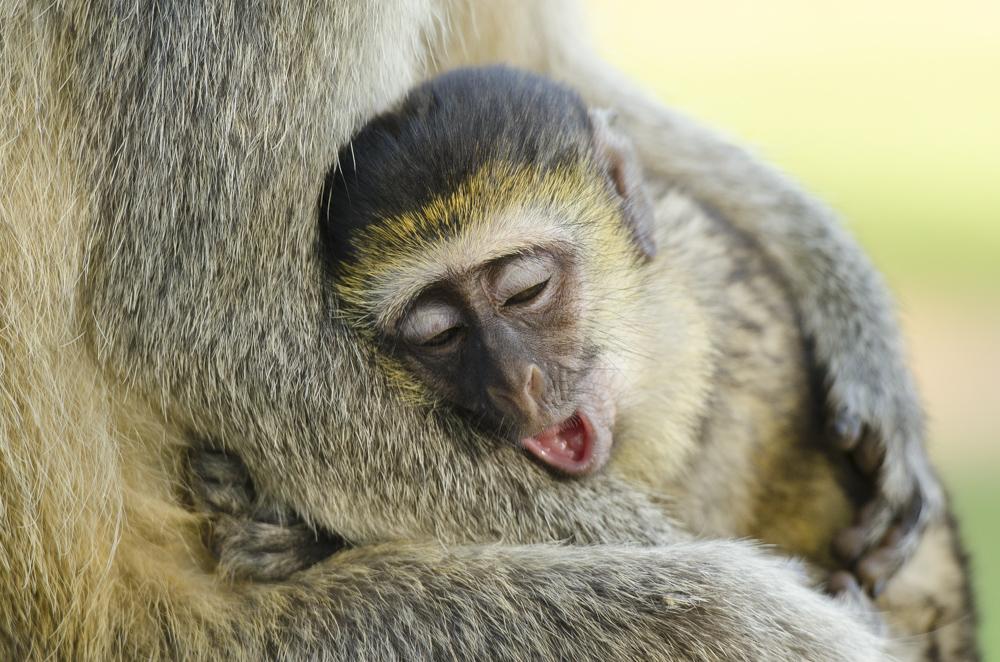 Uganda primates vervet monkeys