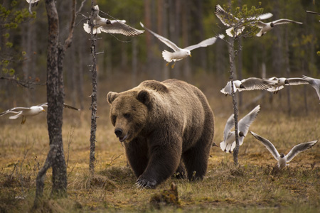wildlife photography holidays brown bears Finland
