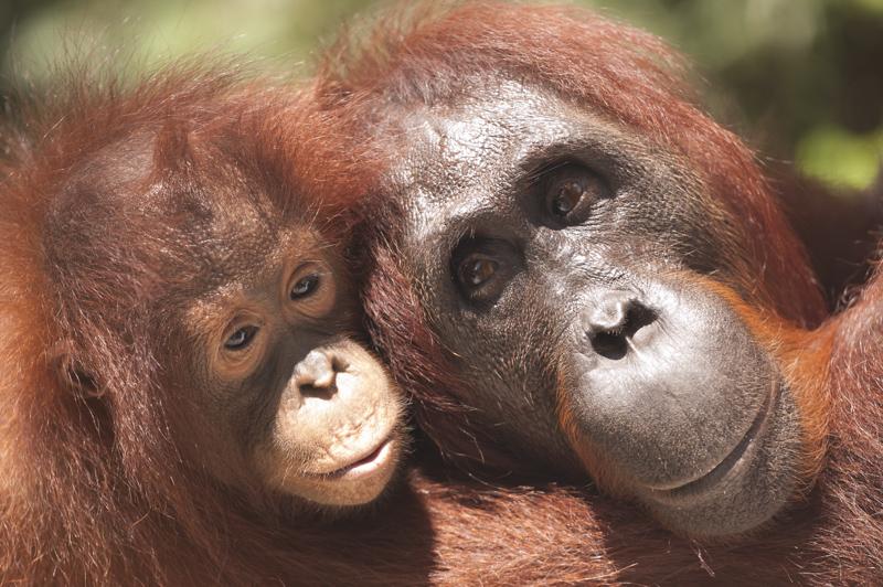 Mum baby orangutan photo Borneo
