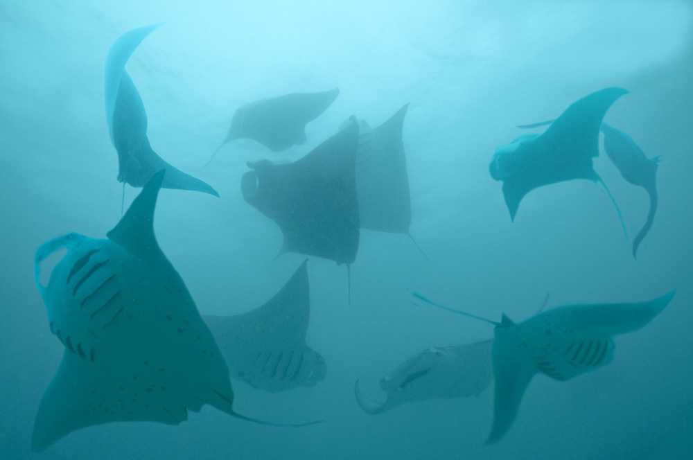 Manta rays Hanifaru