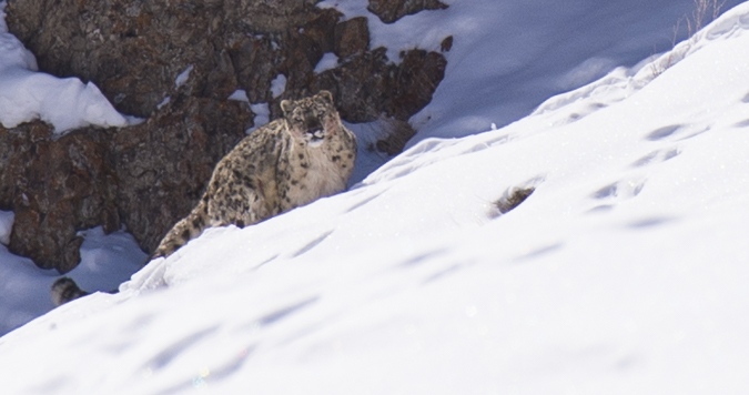 Snow leopard quest Ladakh