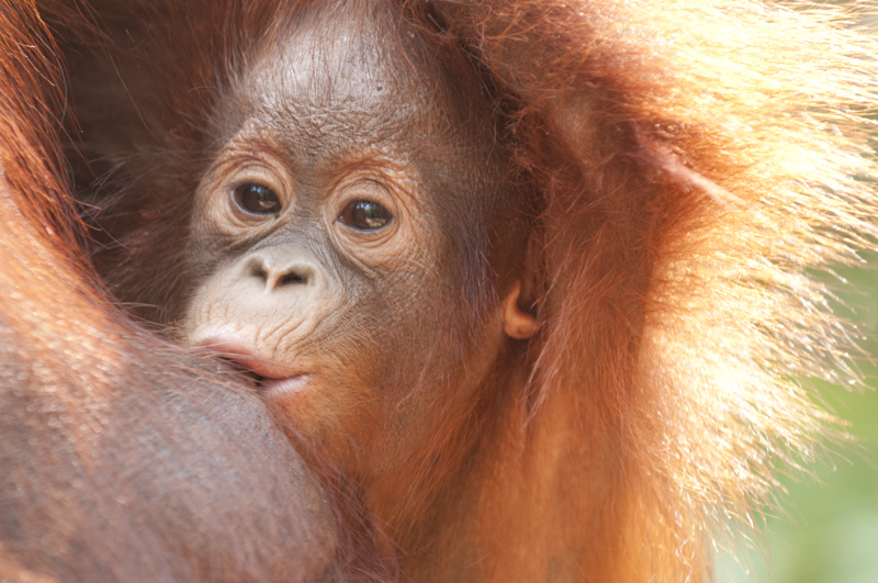 baby orangutan breasfeeding