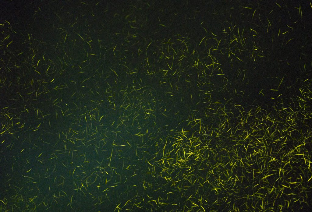 Fireflies Borneo