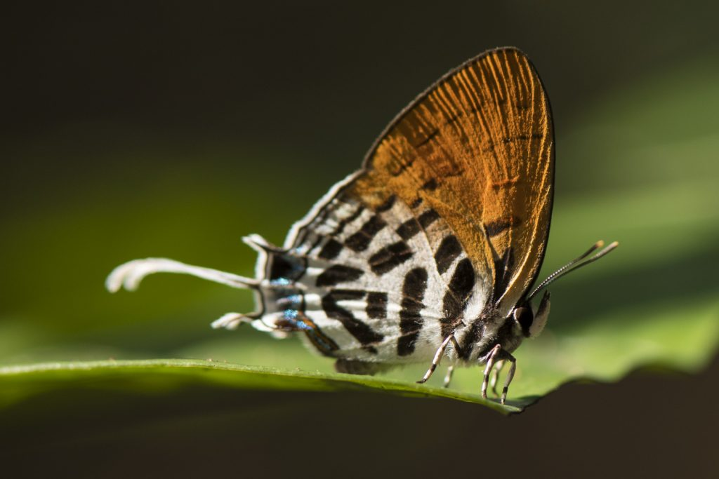 Butterfly Borneo