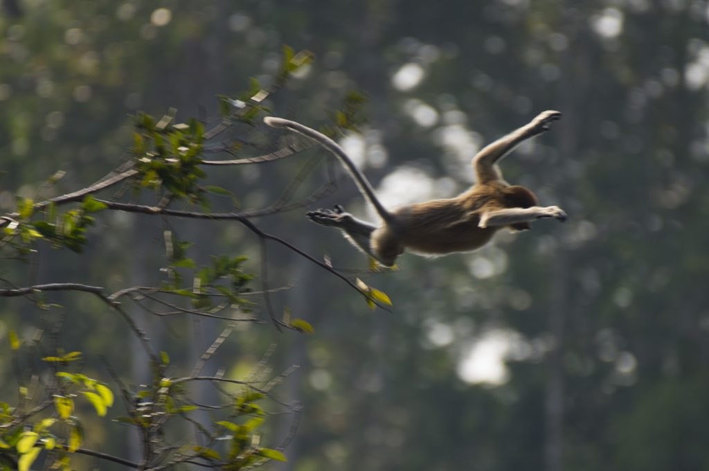 Proboscis monkey leaping