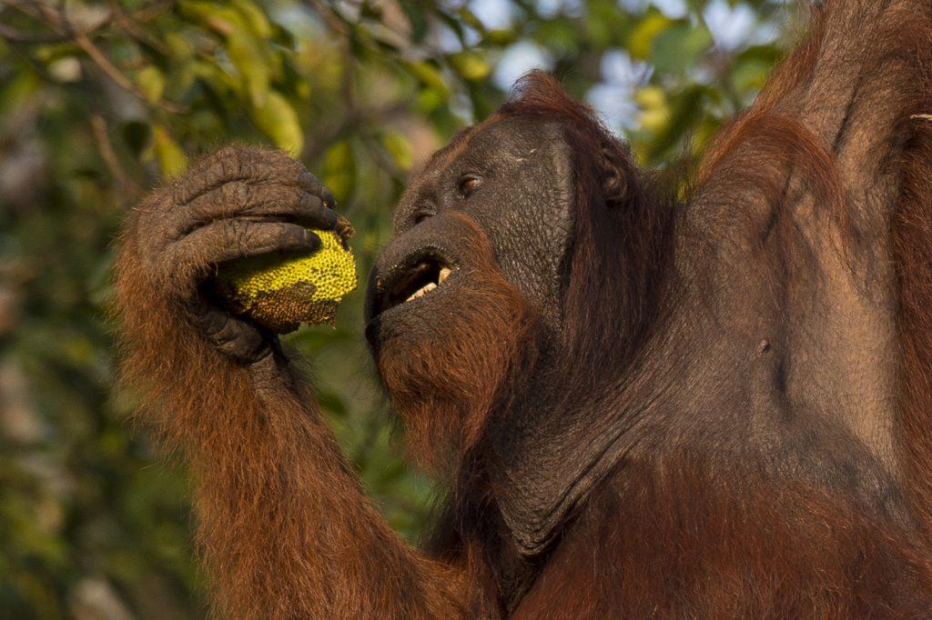Borneo wild orangutan