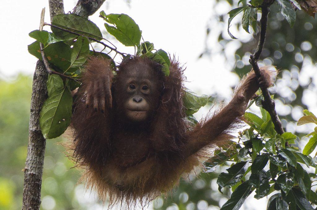 baby orangutan rain