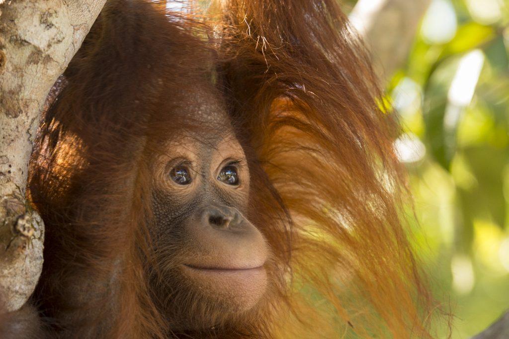 Lamandau orangutan