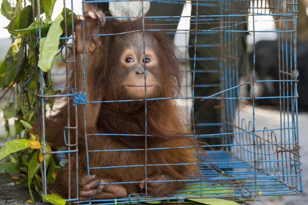 orangutan cage