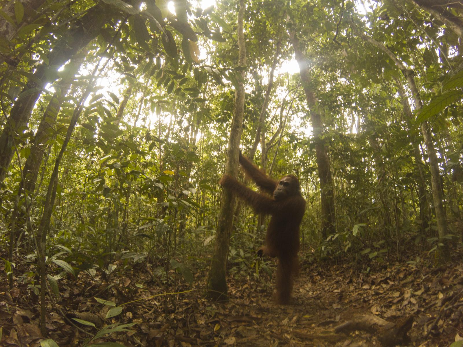 Tanjung Puting orangutan tour