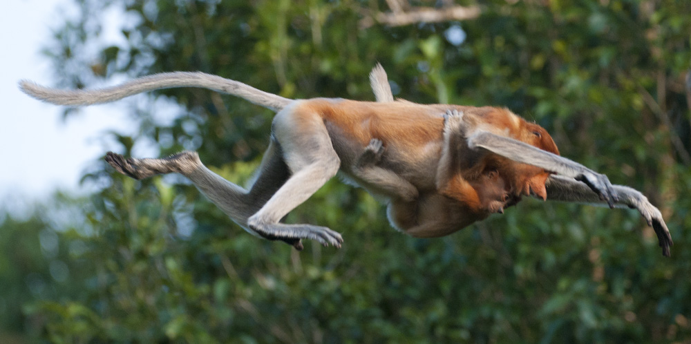Proboscis monkey leaping