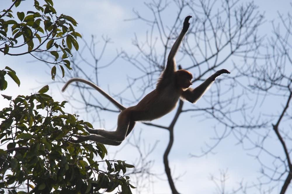 Proboscis monkey leaping Borneo