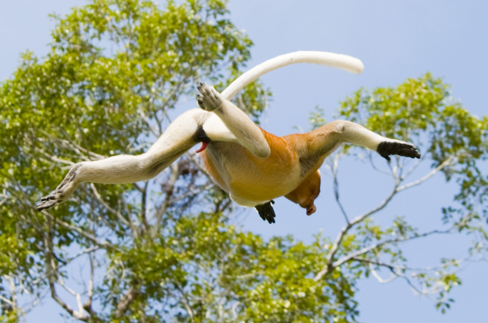 Proboscis monkey leaping from tree