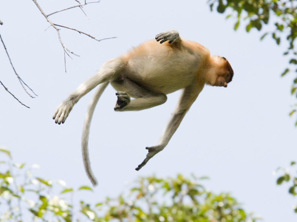 Proboscis monkey jumping in air