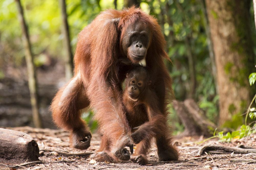 mum and baby orangutan