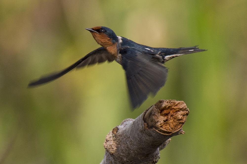 Pacific swallow Borneo