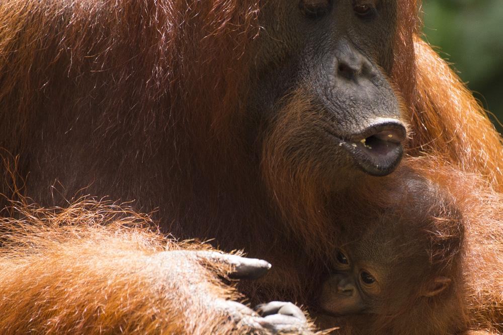mum and baby Borneo orangutan