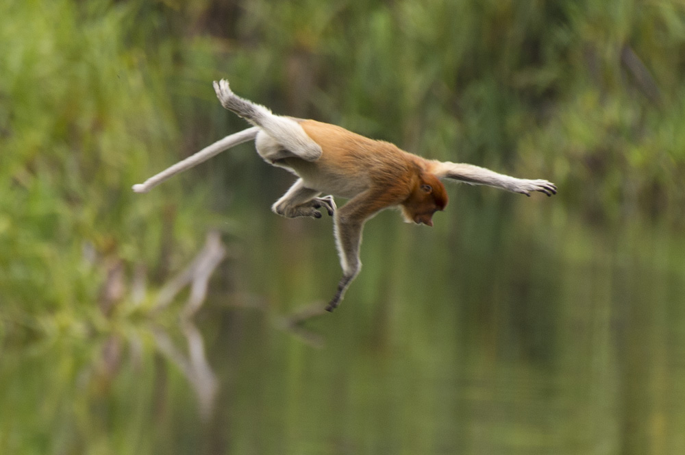 Proboscis monkey jumping into river Borneo