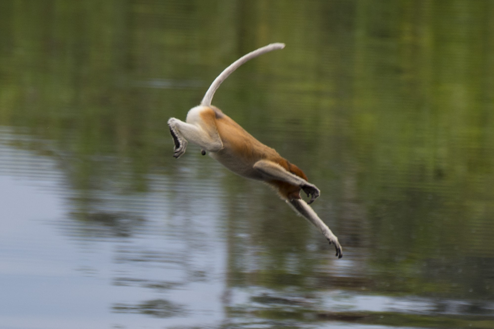 Proboscis monkey diving into river