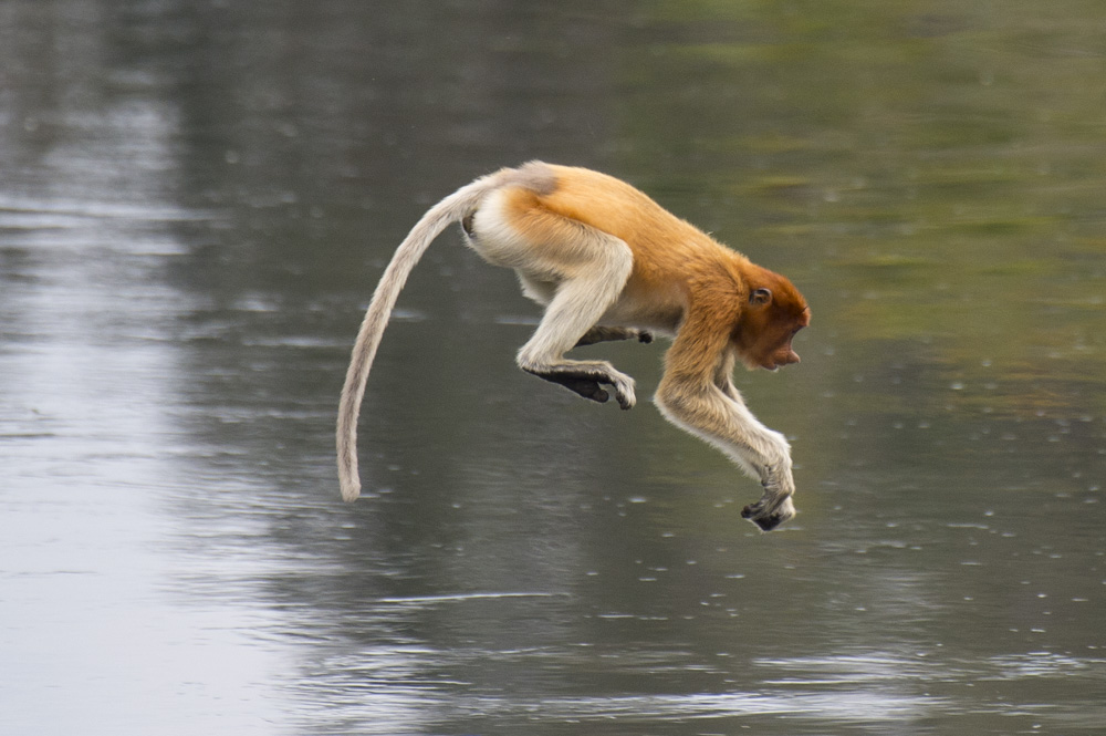 Proboscis monkey leap into river