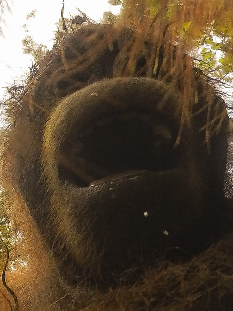 orangutan selfie photo