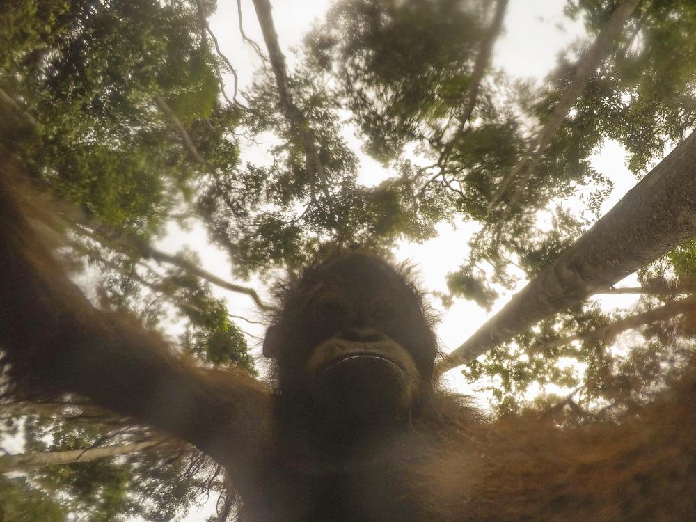 Orangutan selfie forest