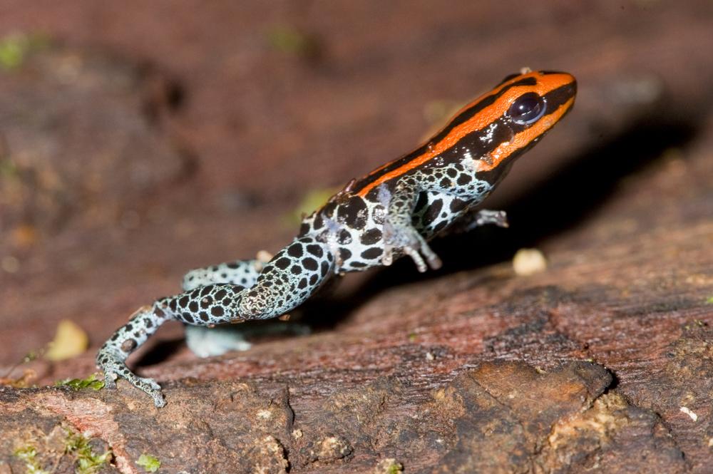 Poison dart frog Peru