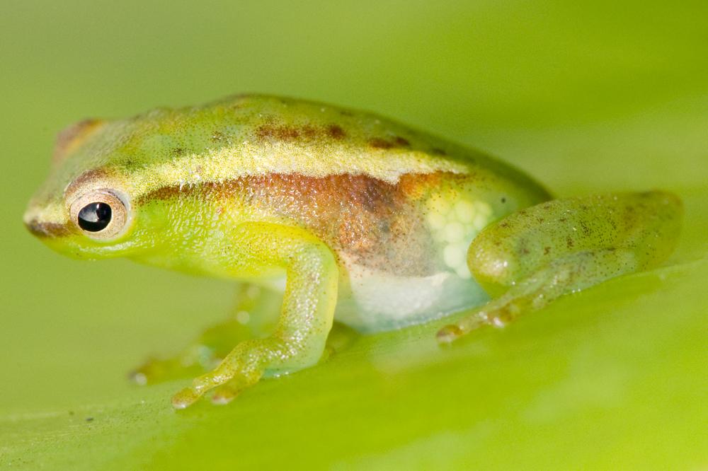 Peru frog