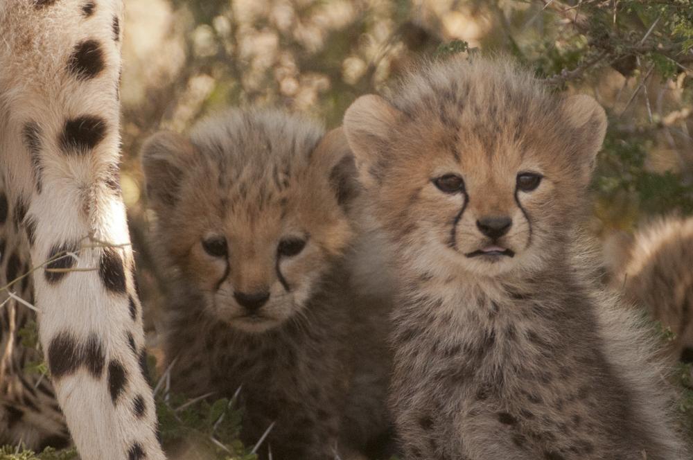 Cheetah cubs Tanzania