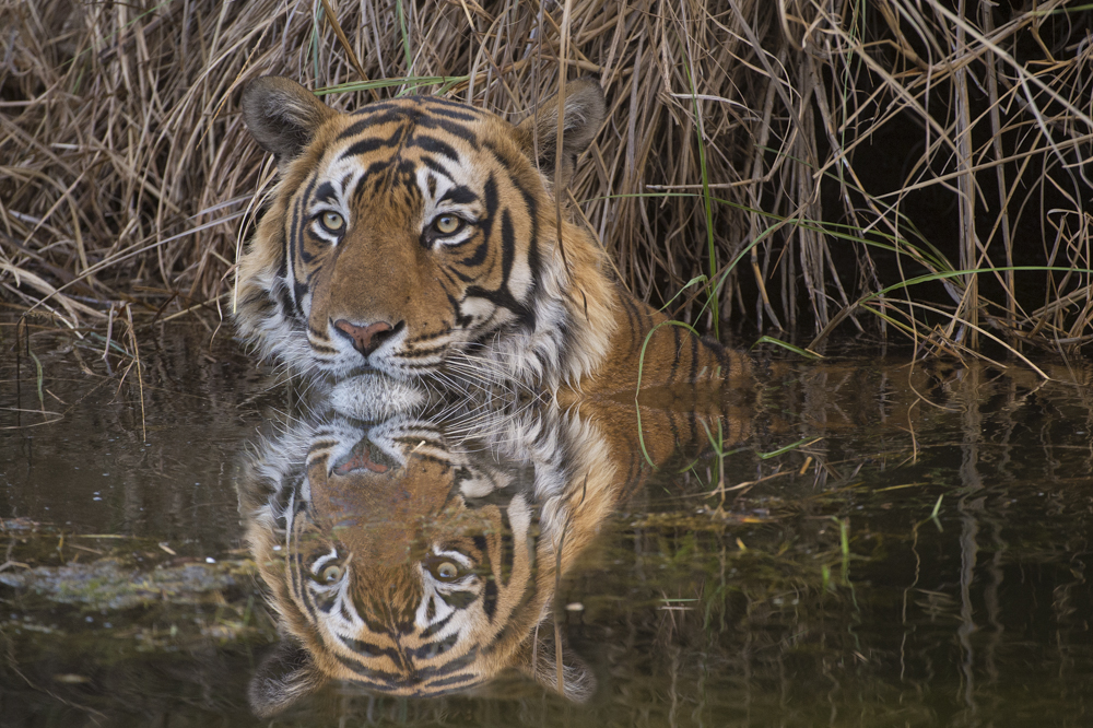 Big cat photographs tiger