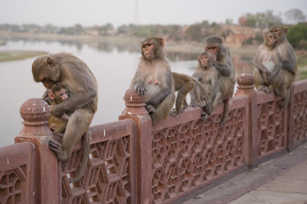 Rhesus macaques Taj Mahal