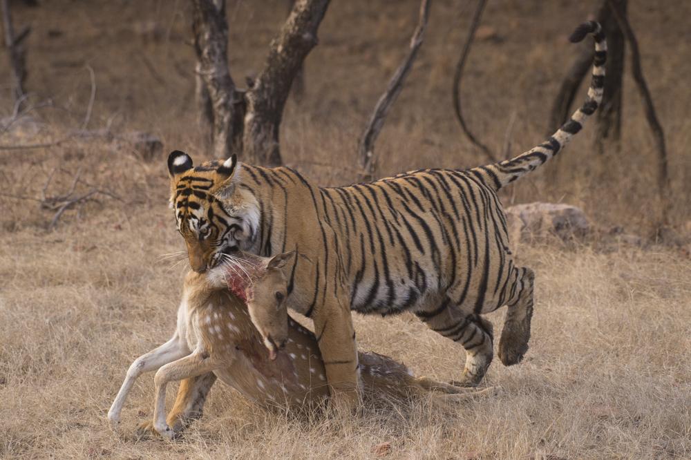 Big cat photographs tiger kill