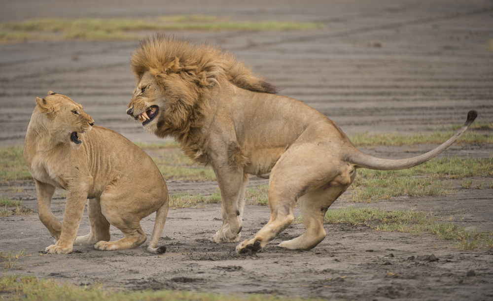 Big cat photographs lions