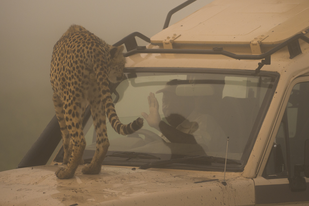 Cheetah on car Tanzania