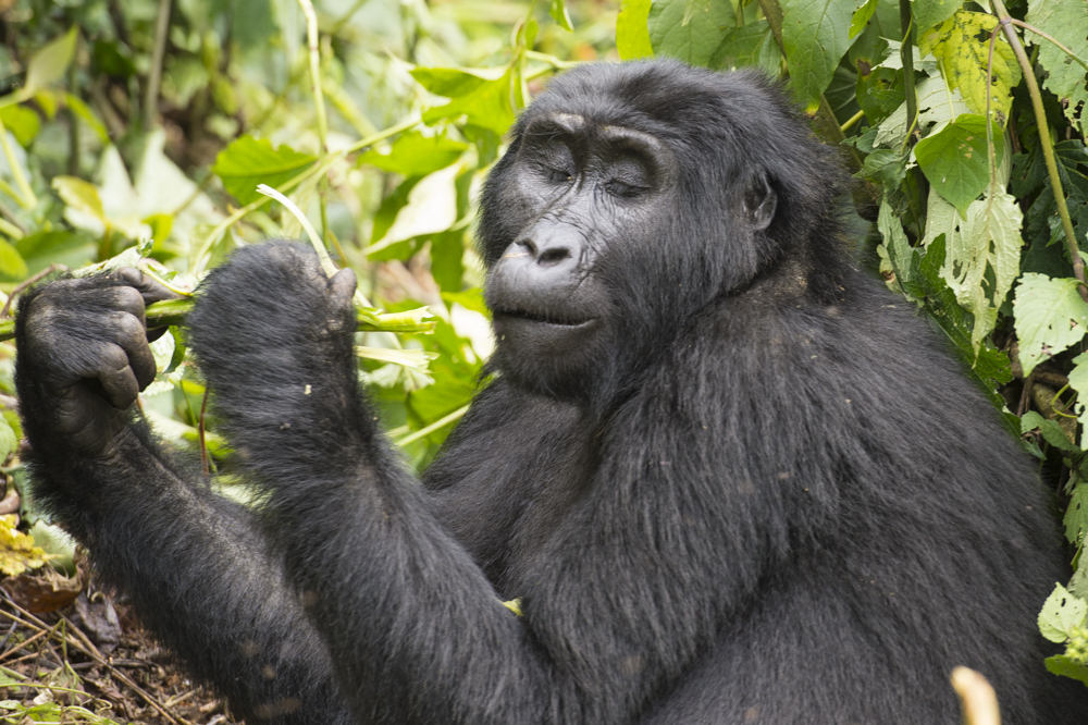 Uganda Mountain gorilla photography tour