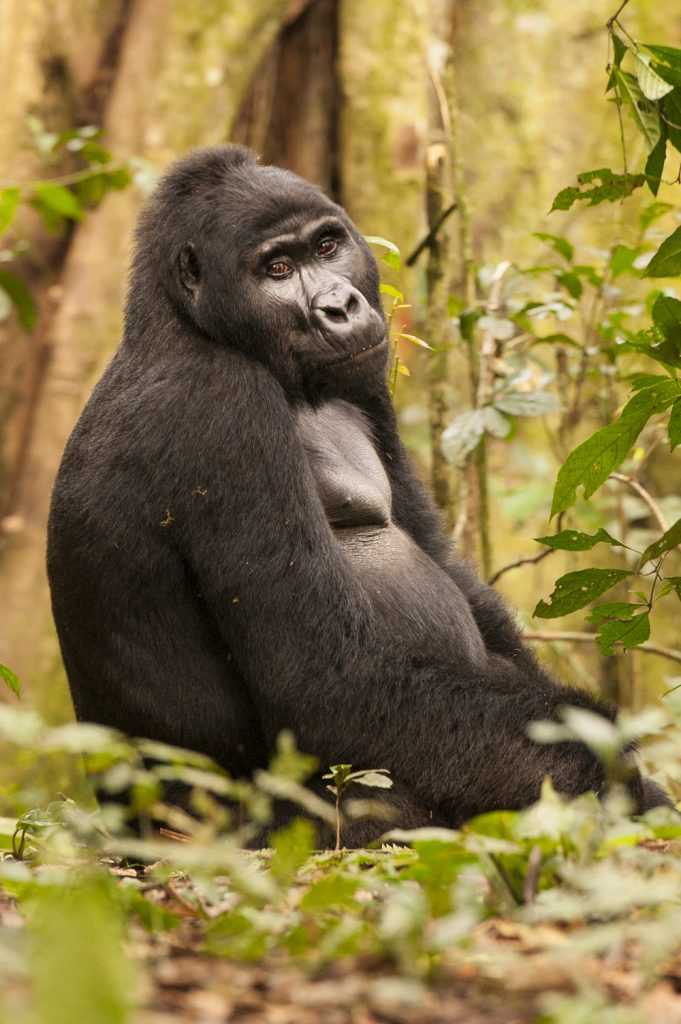 Mountain gorilla photography tour