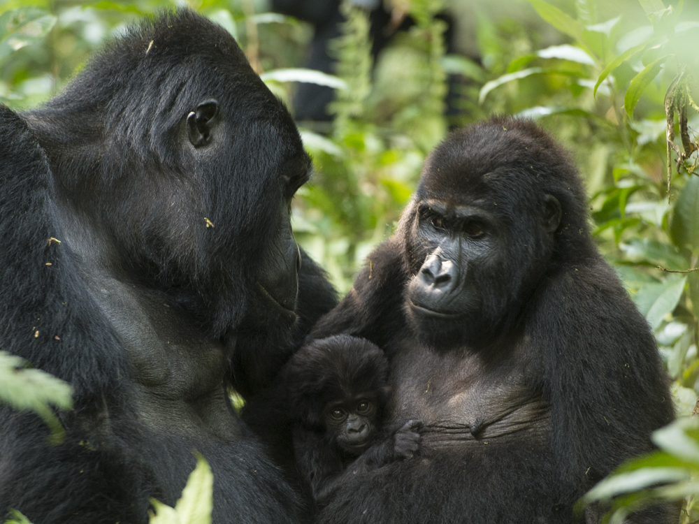 Mountain gorilla photography tour Uganda
