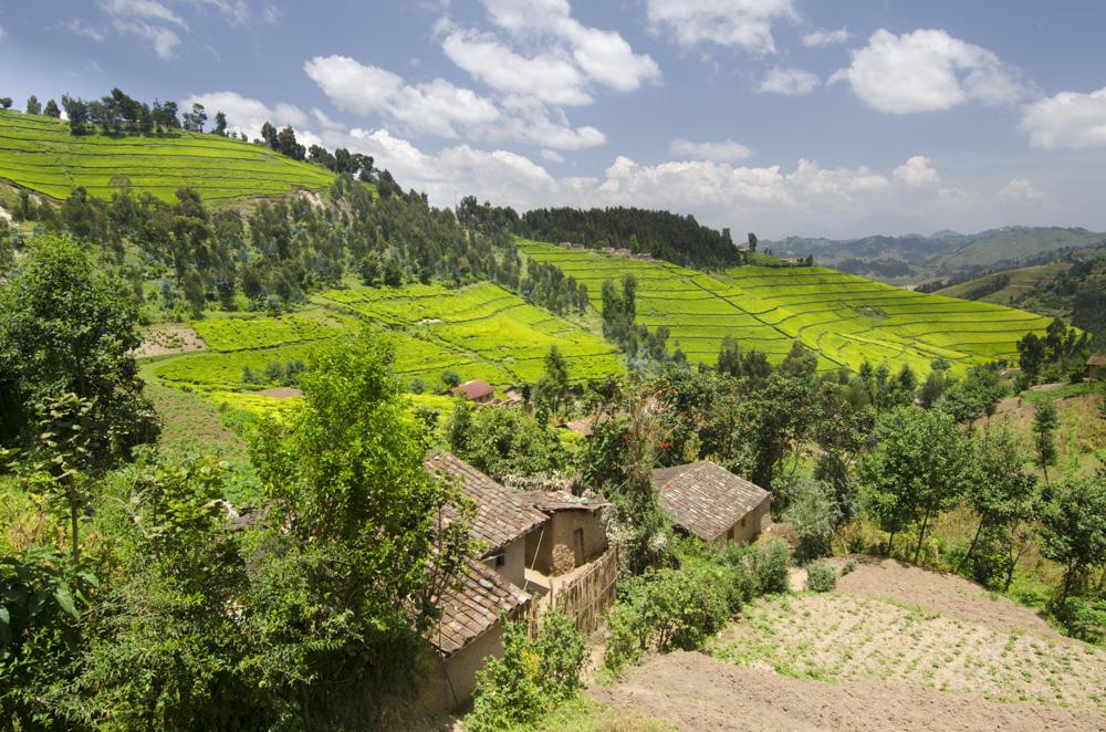 Tea plantations Uganda
