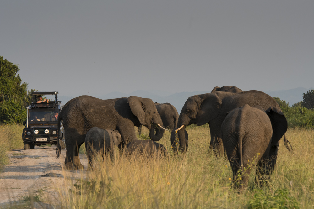 Queen Elizabeth national park elephants