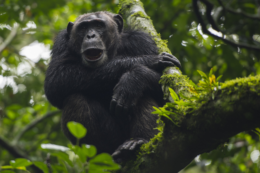 Chimpanzee Kibale Uganda