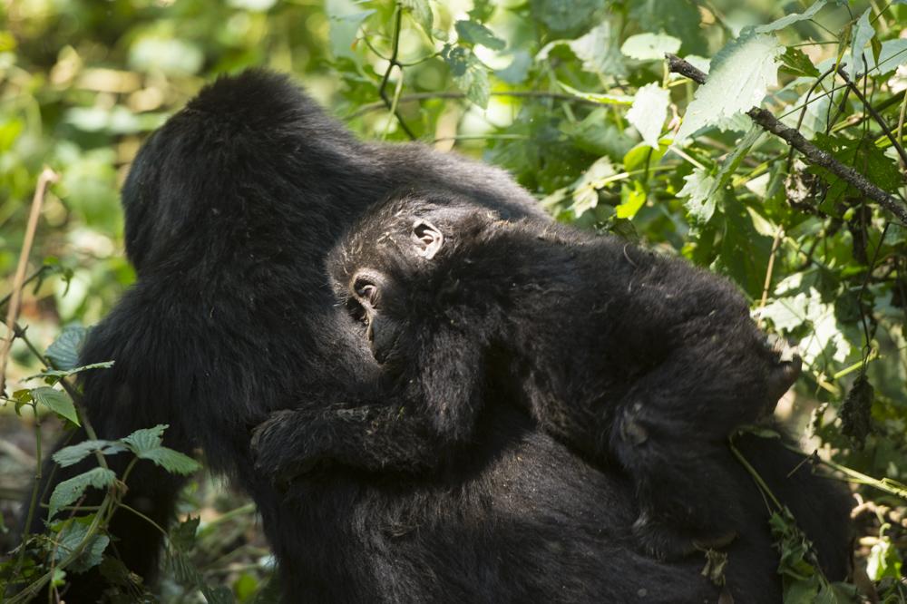 Nshongi mountain gorilla baby